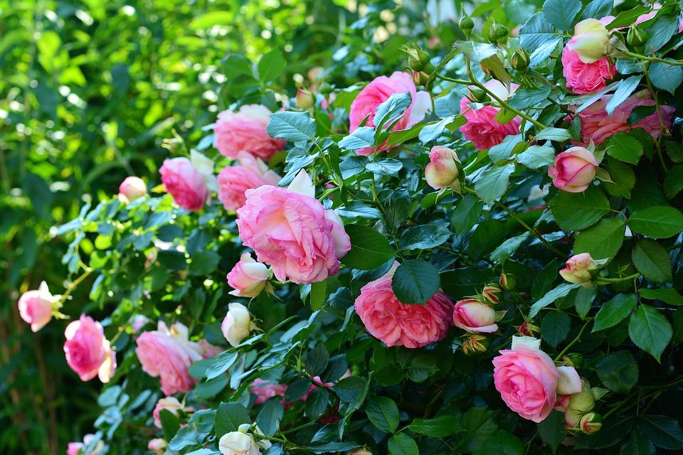 růže na plotě